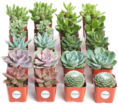This is an image of girl's succulent plants pack of 20 collections